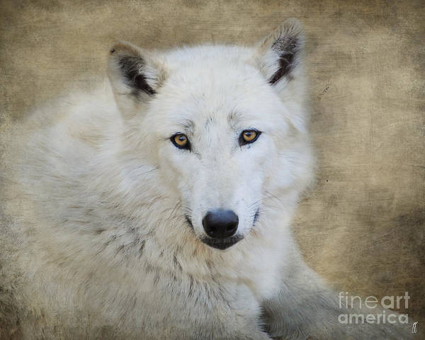 Arctic Wolves Photograph - White Wolf by Jai Johnson