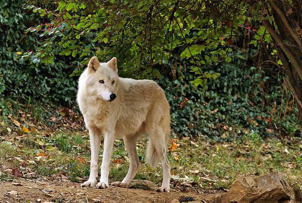 Photograph - White Wolf Watching by Sandy Keeton