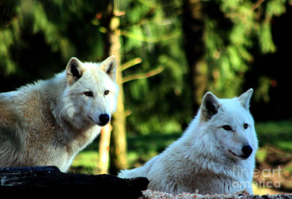 Arctic Wolves Photograph - White Wolves by Nick Gustafson