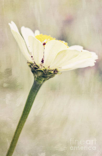 Photograph - White Zinnia by Pam  Holdsworth