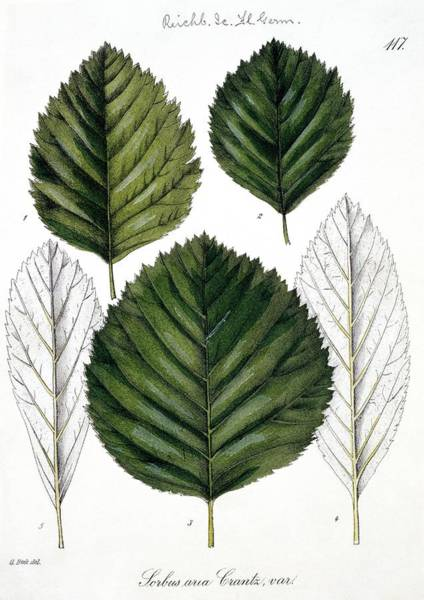 Wall Art - Photograph - Whitebeam Sorbus Aria Leaves by Natural History Museum, London/science Photo Library