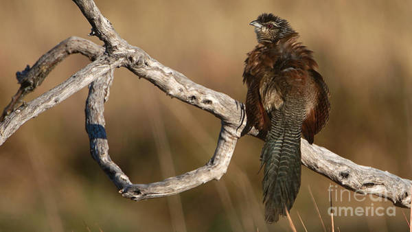 Whitebrowed Coucal Art Print