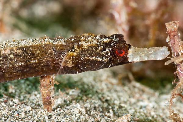 Photograph - Whitenose Pipefish by Andrew J Martinez