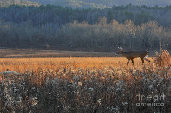 Photograph - Whitetail Buck In Field At Evening by Dan Friend