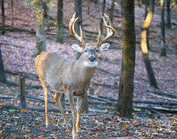 Photograph - Whitetail Buck by Ronald Lutz