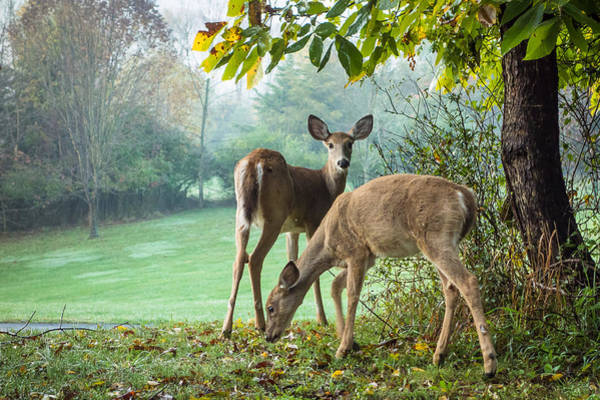 Wall Art - Photograph - Whitetail Deer Does Grazing by Dancasan Photography