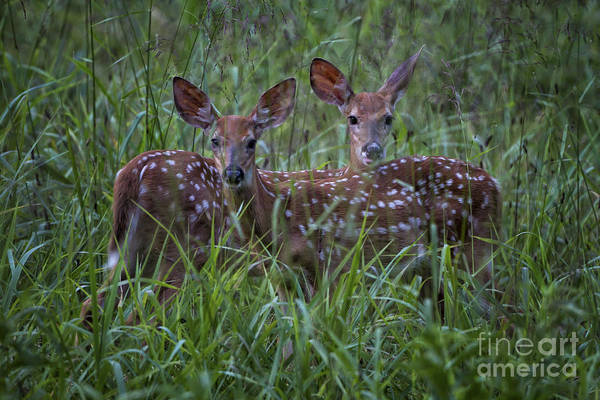 Photograph - Whitetail Fawns by Ronald Lutz