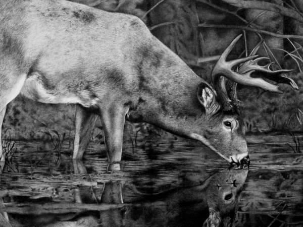 Whitetail Drawing - Whitetail Reflection by Nina Lukaszewicz