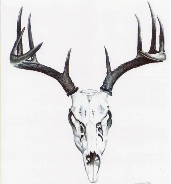 Whitetail Drawing - Whitetail Skull by Elizabeth Moug