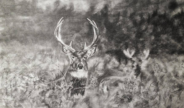 Whitetail Drawing - Whitetailed Deer  by Shannon  Savage