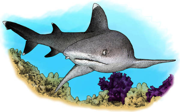 Triaenodon Obesus Photograph - Whitetip Reef Shark, Illustration by Roger Hall