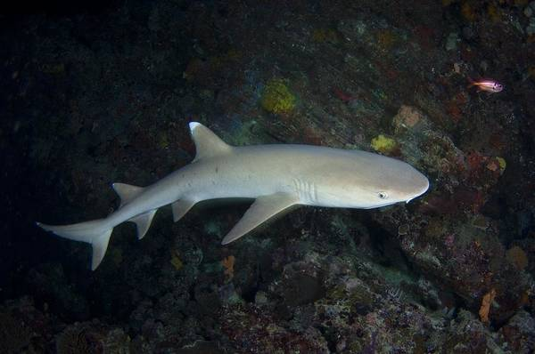 Triaenodon Obesus Photograph - Whitetip Reef Shark In The Maldives by Science Photo Library
