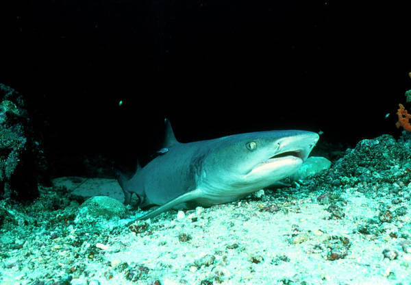 Triaenodon Obesus Photograph - Whitetip Reef Shark by Matthew Oldfield/science Photo Library