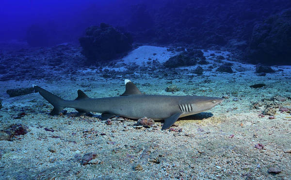 Triaenodon Obesus Photograph - Whitetip Reef Shark On The Ocean Floor by Andreas Schumacher