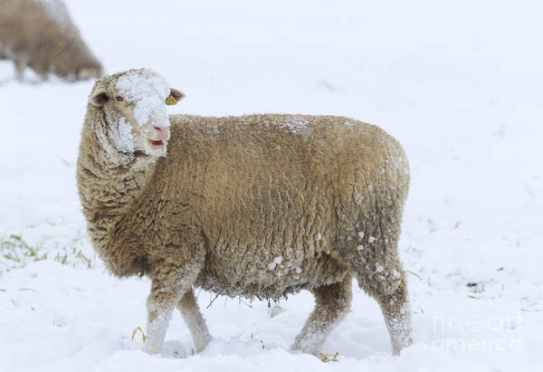 Lamb Photograph - Who Threw The Snowball by Mike  Dawson