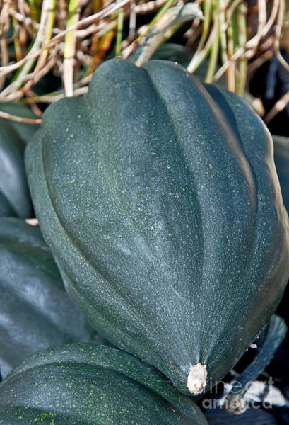 Acorn Squash Photograph - Whole Acorn Squash Art Prints by Valerie Garner