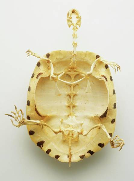 Tortoise Shell Photograph - Whole Skeleton by Dorling Kindersley/uig