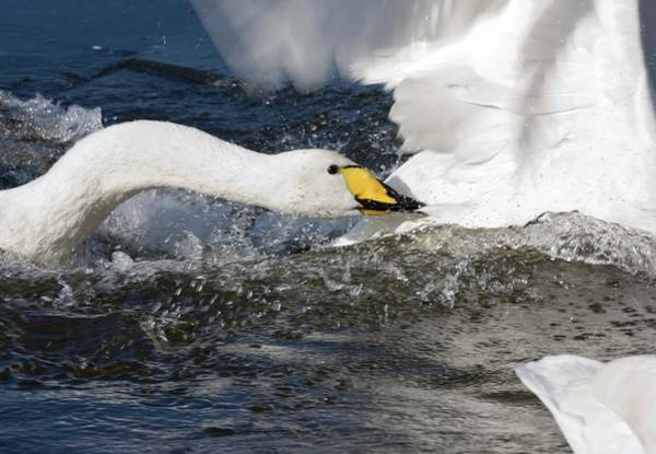 Cygnus Photograph - Whooper Swan Attacking Others by John Devries/science Photo Library