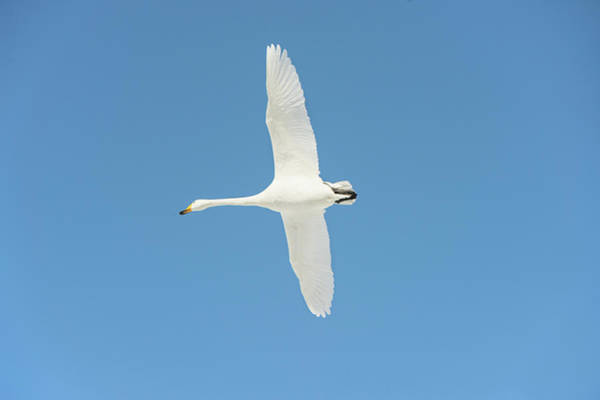 Behaviour Photograph - Whooper Swan In Flight by Dr P. Marazzi