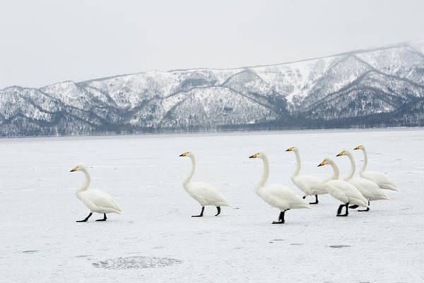 Behaviour Photograph - Whooper Swans by Dr P. Marazzi