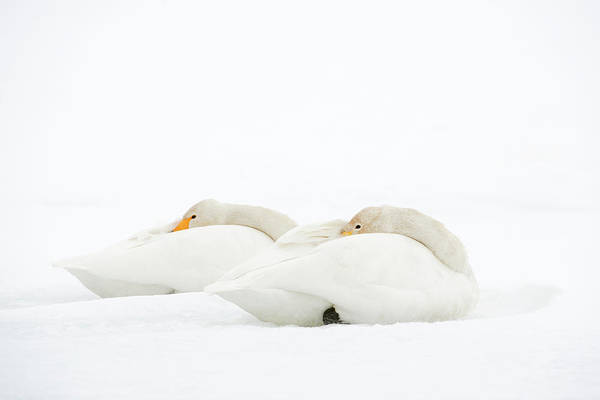 Behaviour Photograph - Whooper Swans Resting On Snow by Dr P. Marazzi
