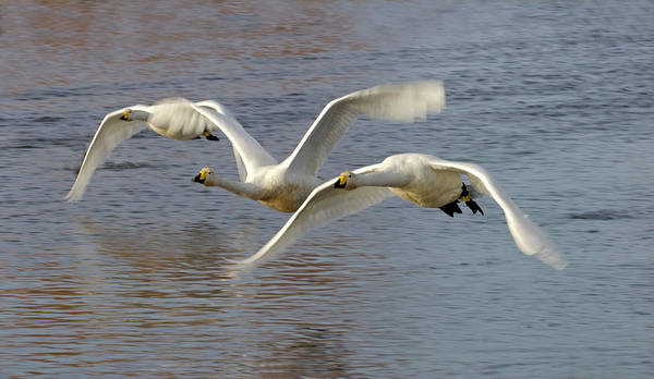 Cygnus Photograph - Whooper Swans by Simon Fraser/science Photo Library