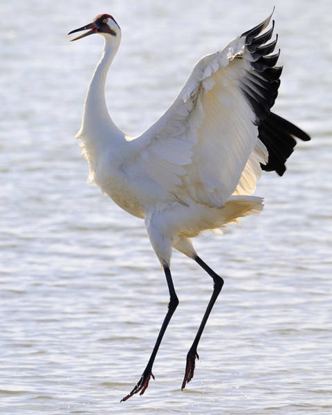 Whooping Cranes Photograph - Whooping Crane - Whooping It Up by Tony Beck