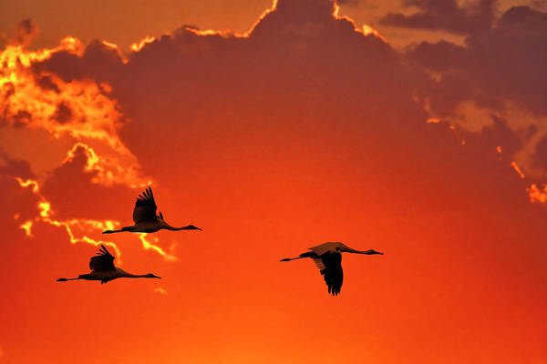 Whooping Cranes Photograph - Whooping Cranes Flying by Mark Newman
