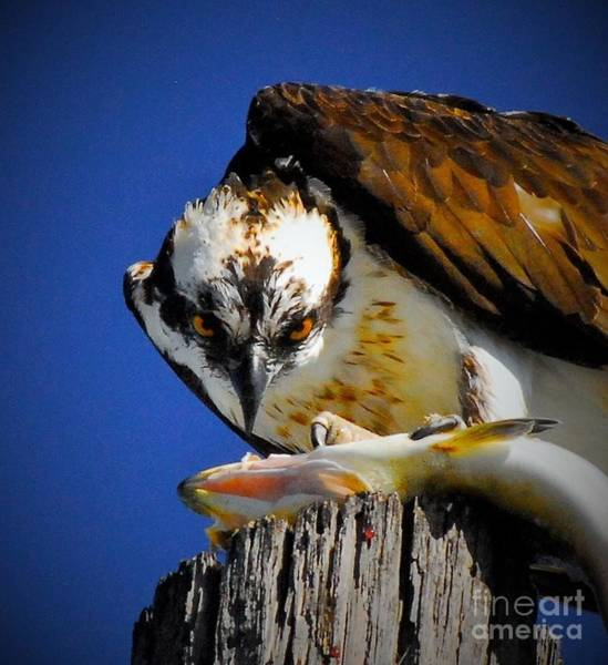 Fish Eagle Photograph - Who's Looking At Who by Quinn Sedam