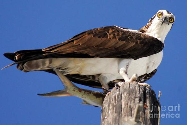 Fish Eagle Photograph - Who's There by Quinn Sedam