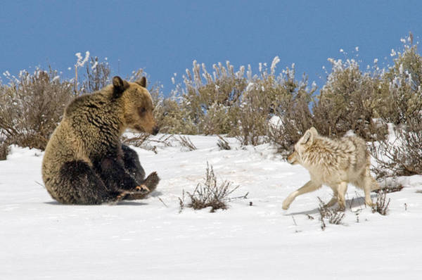 Grizzly Bears Photograph - Why Can't We Be Friends? by Sandy Sisti