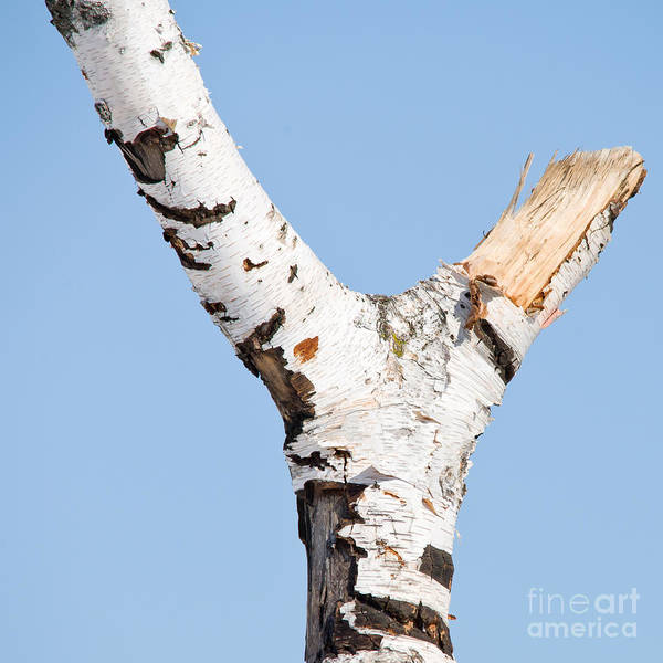 Photograph - Birch Tree In A Y-shape by Les Palenik