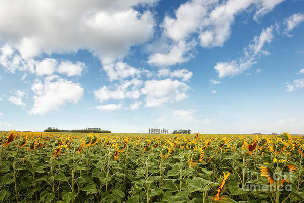 Photograph - Wide Open Fields Of Sunflowers by Sandra Cunningham
