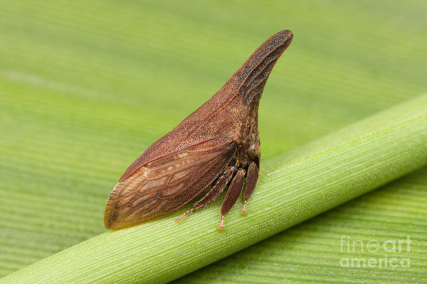 Photograph - Widefooted Treehopper I by Clarence Holmes