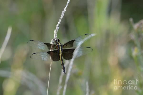 Photograph - Widow Skimmer by Randy Bodkins