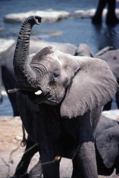 African Elephant Photograph - Wild African Elephant In The Etosha by Paul Dymond