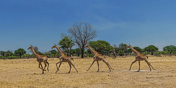 Botswana Photograph - Wild And Free by Piet Flour