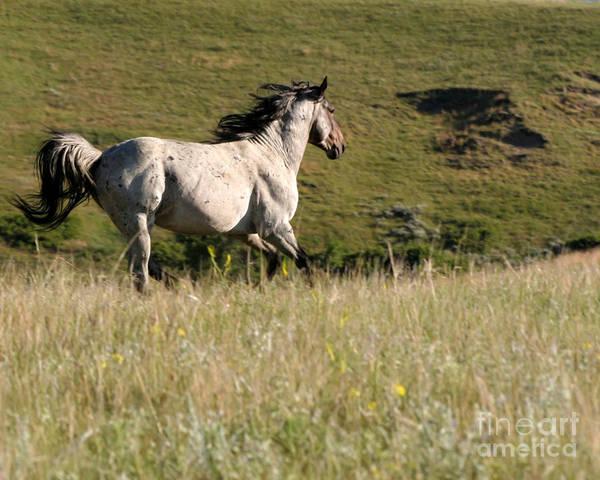 Photograph - Wild Appaloosa Running Away by Sabrina L Ryan