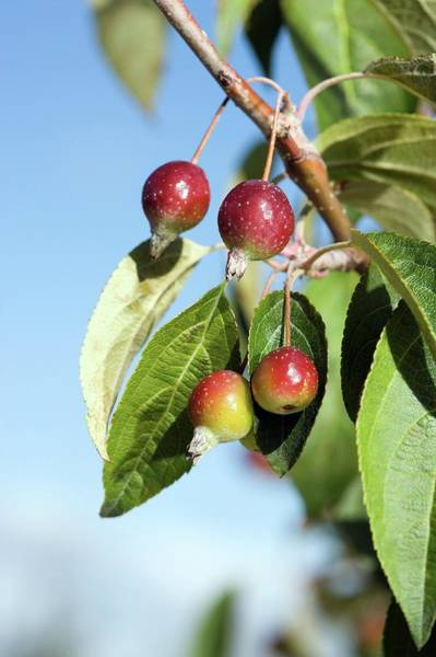 Malus Photograph - Wild Apple by Peggy Greb/us Department Of Agriculture/science Photo Library
