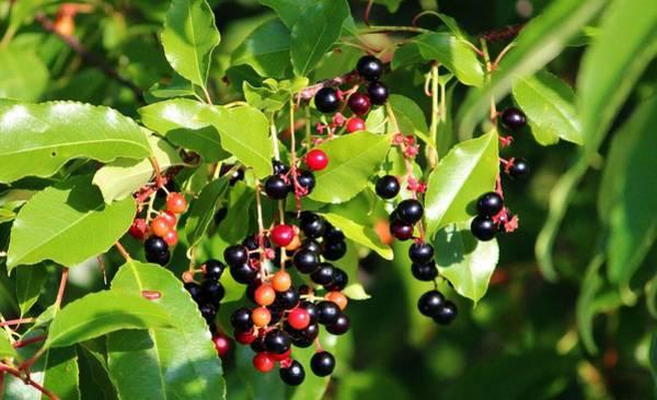 Photograph - Wild Berries by Cynthia Guinn