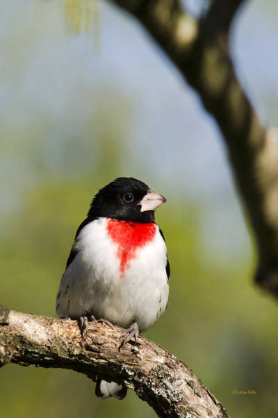 Photograph - Male Rose Breasted Grosbeak by Christina Rollo