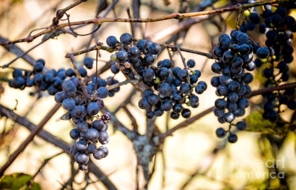 Photograph - Wild Blue Grapes by Les Palenik