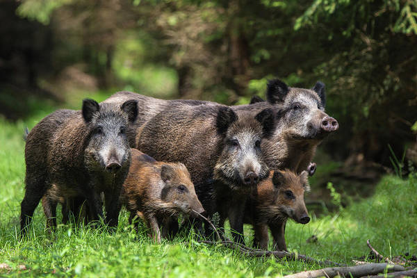 Pig Photograph - Wild Boar Family by Stefan V??lkel