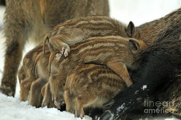 Reiner Photograph - Wild Boar Piglets by Reiner Bernhardt