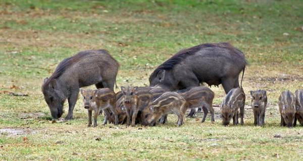 Sow Photograph - Wild Boar Sow And Piglets by K Jayaram