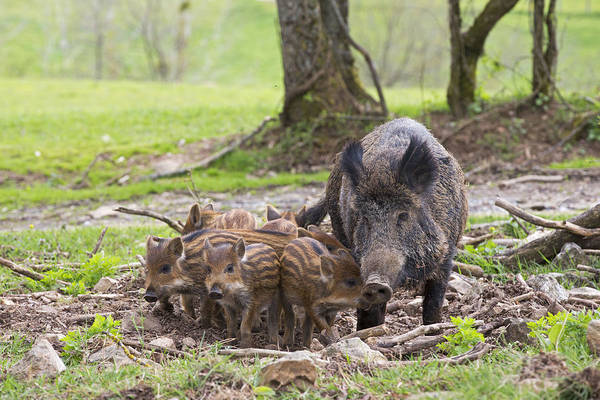 Photograph - Wild Boar With Ppiglets by M. Watson
