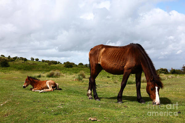Mare And Foal Photograph - Wild Bodmin Pony And Foal Cornwall by James Brunker