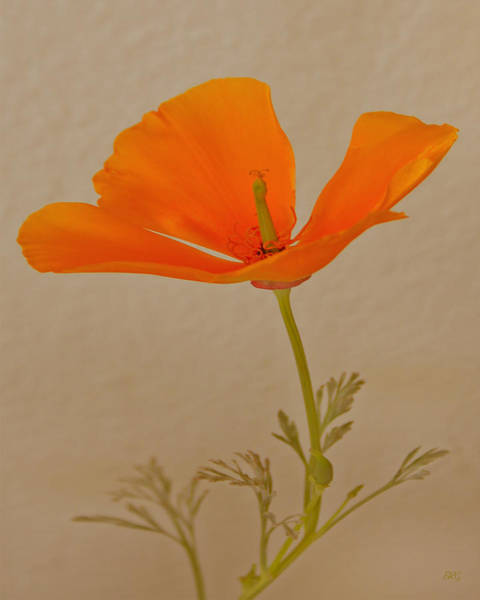 Wall Art - Photograph - Wild California Poppy No 1 by Ben and Raisa Gertsberg