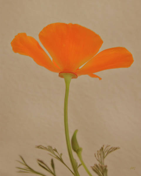 Wall Art - Photograph - Wild California Poppy No 2 by Ben and Raisa Gertsberg