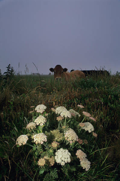 Wall Art - Photograph - Wild Carrot Flowers by Duncan Shaw/science Photo Library